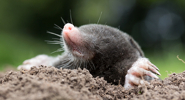 mole peeking out hole