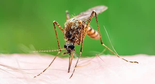 mosquito biting a human arm