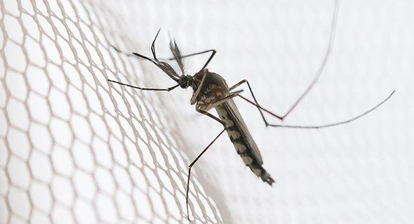 mosquito caught in a netting