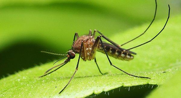 a mosquito on a garden leaf