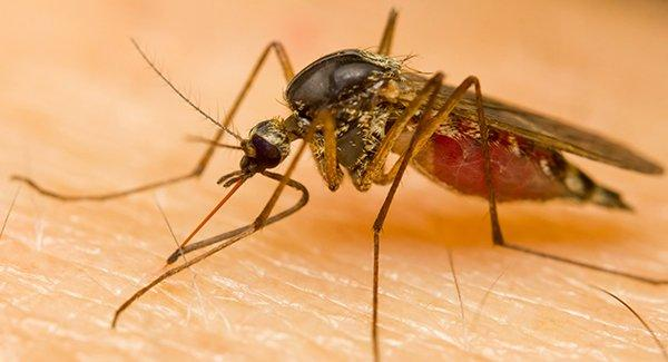 a mosquito spreading diseases with its bite
