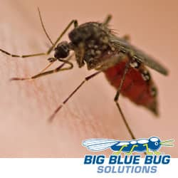 a mosquito sucking a person's blood in shrewsbury massachusetts