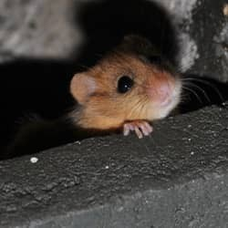 mouse hiding in basement
