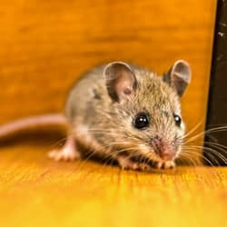 mouse found in kitchen