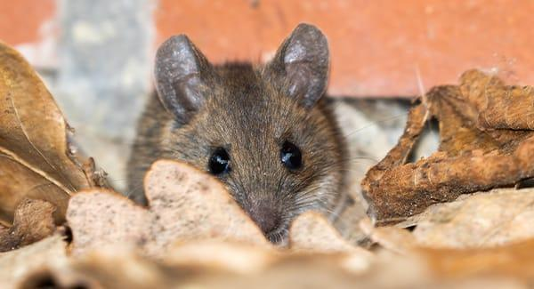 a house mouse kaing a big mess in a south portland maine home during fall season