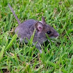 rodent in backyard