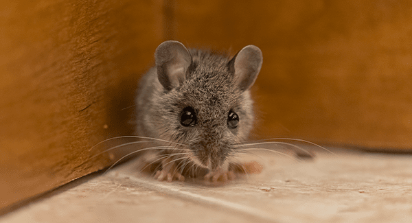 mouse found in south portland home