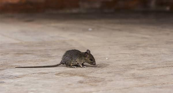 a house mouse scurrying along the carpeted living room floor inside of a home in worcester massachusetts
