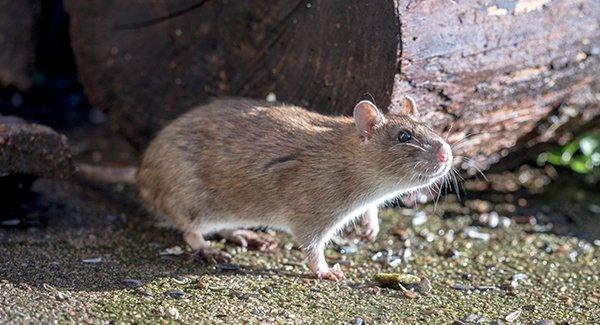 a norway rat outide of a home