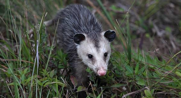 a white faced opossum crawling through the long grass on a southern portland property