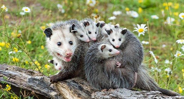 an opossum family on a fallen tree