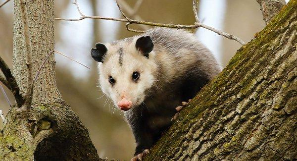 an opposum climbing a tree in a new england back yard