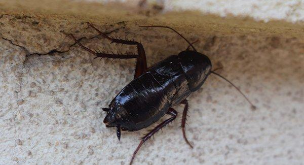 oriental cockroach in basement