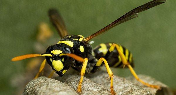 a paper wasp in its nest