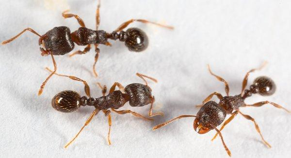 pavement ants on a tile floor