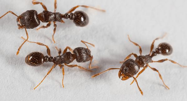 pavement ants up close