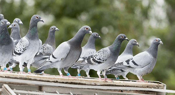 pest birds on a business