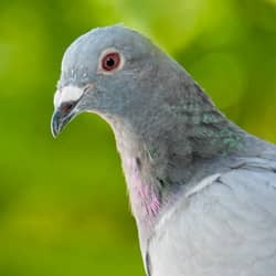 pigeon near massachusetts home