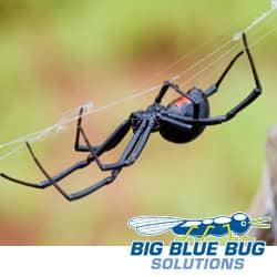 rhode island black widow spider