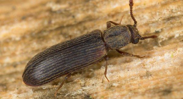 a powderpost beetle on wooden surface