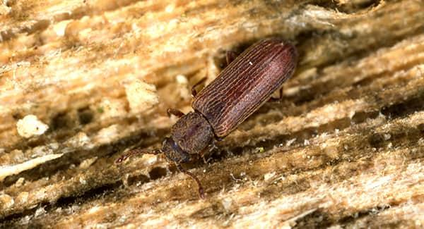 a long dark brown poderpost beetle crawlong along a wooden structure in a new england home before chewing through the wood and creating costly damage
