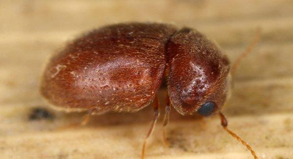 close up of pantry beetle