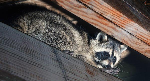 raccoon hiding in the rafters