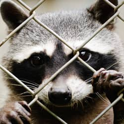 raccoon found in attleboro