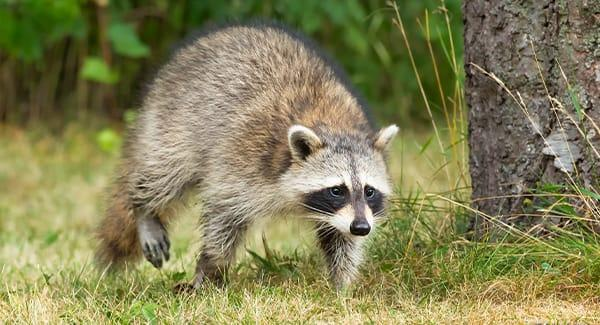 raccoon walking in grass