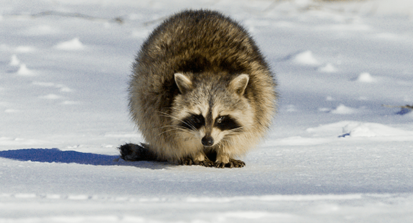 raccoon found near south portland home