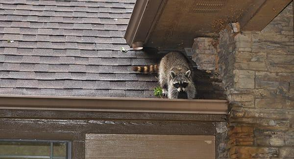 a dangerous racoon climbing along the rain gutter of a new england home
