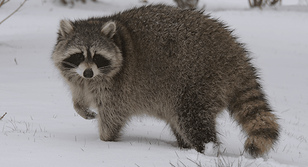 raccoon during winter season