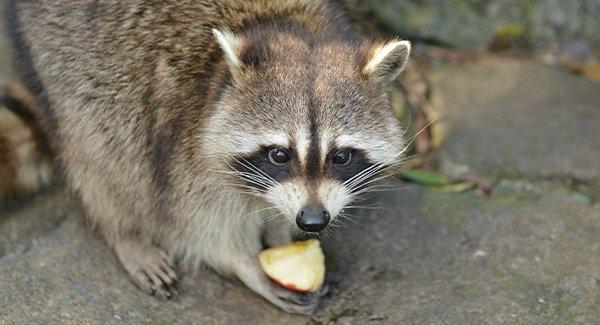 a racoon stealing food from the trash
