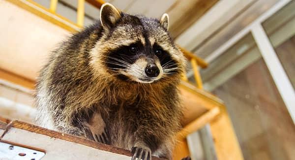 raccoon in shed