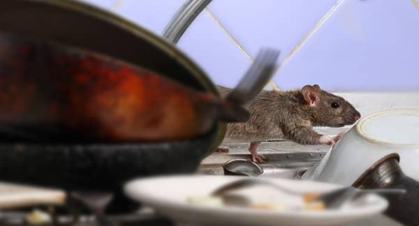 a rat in the kitchen