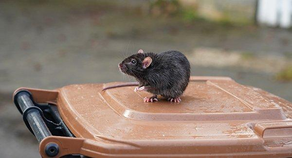 rat on top of trash can