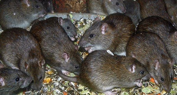 rats in milford