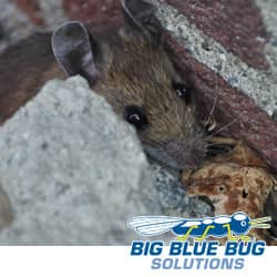 small brown mouse hiding behind a building in providence