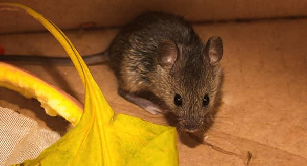 rodent in basement