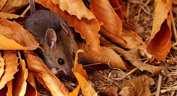 rodents in fall time