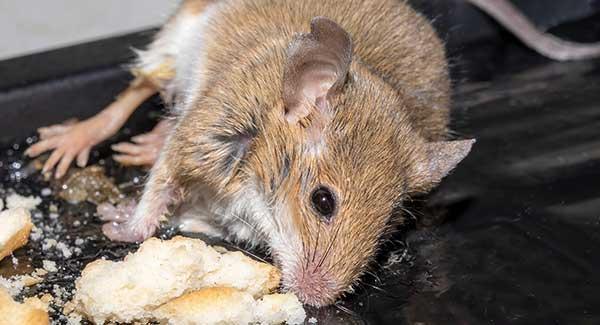 rodents in kitchen