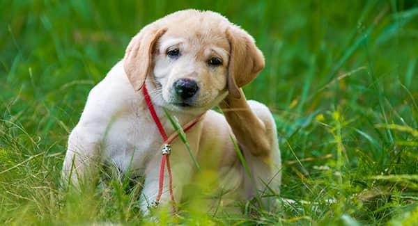 dog scratching flea bites