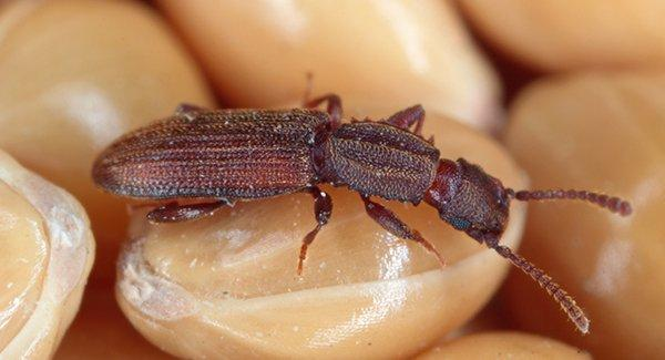 a sawtoothed grain beetle crawling throughout a pantry of lentils