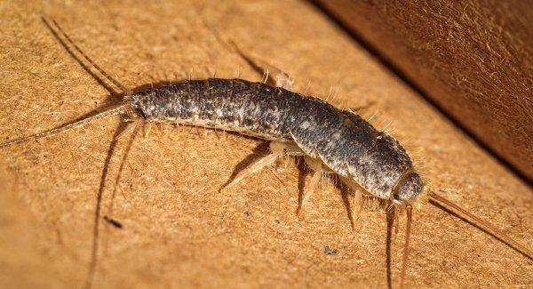 a silverfish on a table
