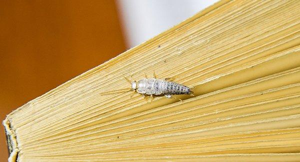silverfish destroying paper