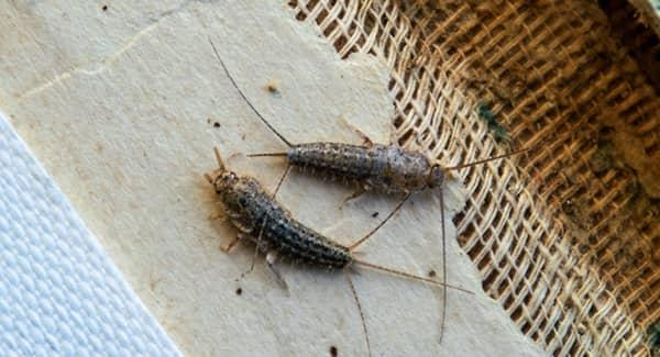 silverfish in new england home