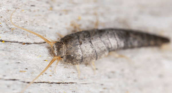 silverfish crawling on floor