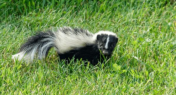 skunk on grass