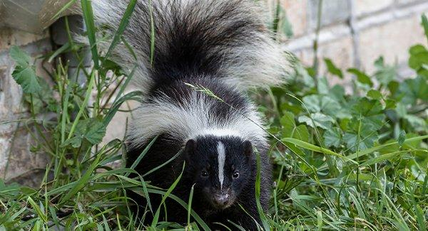 skunk crawling near a home foundation outside
