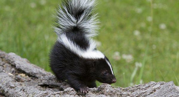 skunk on a log in a yard
